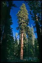 Mariposa Grove of sequoia trees. Yosemite National Park ( color)