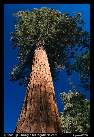 Towering sequoia tree, Mariposa Grove. Yosemite National Park (color)