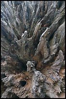 Roots of fallen sequoia tree, Mariposa Grove. Yosemite National Park, California, USA. (color)