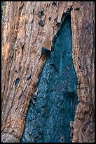 Bark detail of oldest tree in Mariposa Grove. Yosemite National Park, California, USA. (color)