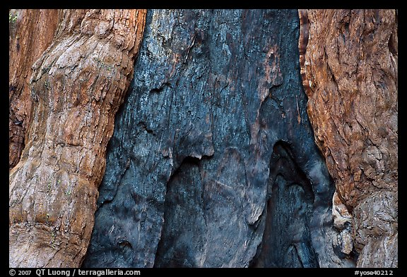 Fire scar on oldest sequoia in Mariposa Grove. Yosemite National Park (color)