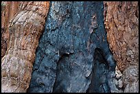 Fire scar on oldest sequoia in Mariposa Grove. Yosemite National Park ( color)
