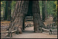 California tunnel tree, Mariposa Grove. Yosemite National Park, California, USA. (color)