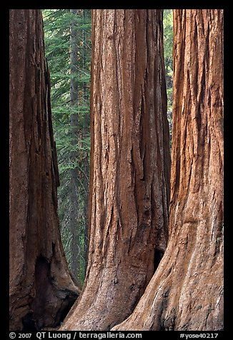 Base of sequoia tree trunks, Mariposa Grove. Yosemite National Park (color)
