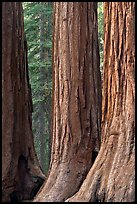 Base of sequoia tree trunks, Mariposa Grove. Yosemite National Park, California, USA. (color)