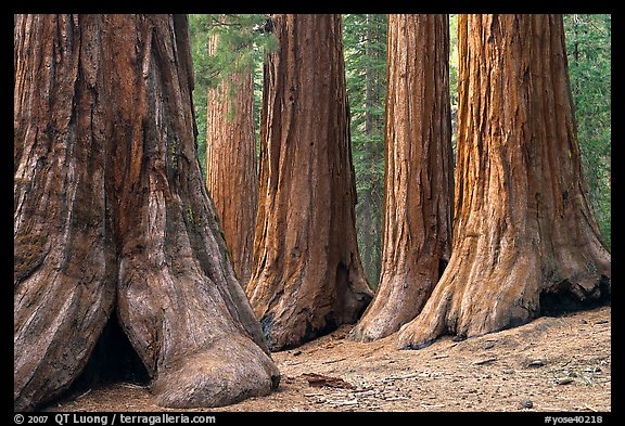 Sequoias called Bachelor and three graces, Mariposa Grove. Yosemite National Park (color)