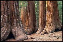 Sequoias called Bachelor and three graces, Mariposa Grove. Yosemite National Park, California, USA.