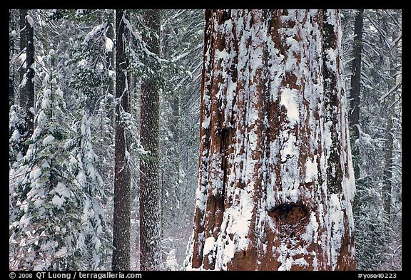 Giant Sequoia plastered with snow, Tuolumne Grove. Yosemite National Park (color)