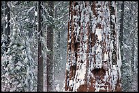 Giant Sequoia plastered with snow, Tuolumne Grove. Yosemite National Park, California, USA.