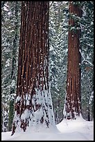Sequoias and snowy trees, Tuolumne Grove. Yosemite National Park ( color)