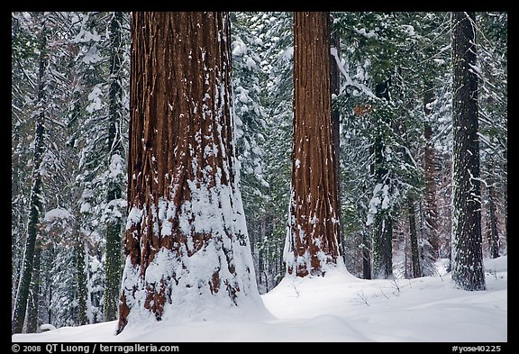 Tuolumne Grove of giant sequoias in winter. Yosemite National Park (color)