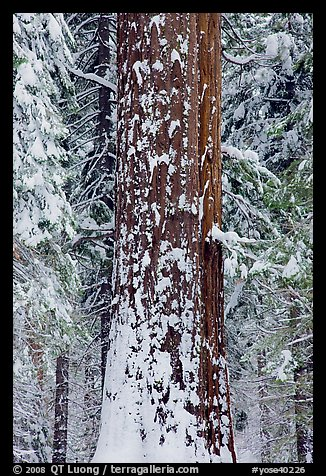 Sequoia trunk and snow-covered trees, Tuolumne Grove. Yosemite National Park (color)