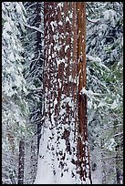 Sequoia trunk and snow-covered trees, Tuolumne Grove. Yosemite National Park, California, USA. (color)