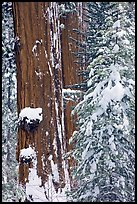 Giant Sequoias trees in winter, Tuolumne Grove. Yosemite National Park, California, USA.