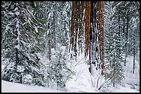 Sequoia forest in winter, Tuolumne Grove. Yosemite National Park, California, USA.