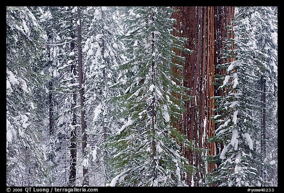 Wintry forest with sequoias and conifers, Tuolumne Grove. Yosemite National Park, California, USA.
