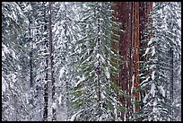 Wintry forest with sequoias and conifers, Tuolumne Grove. Yosemite National Park, California, USA. (color)