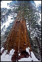 Giant sequoia seen from the base with fresh snow, Tuolumne Grove. Yosemite National Park, California, USA.