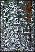 Tree branches and tree trunks with fresh snow, Tuolumne Grove. Yosemite National Park, California, USA.