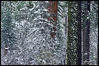 Snowy forest  and tree trunks, Tuolumne Grove. Yosemite National Park ( color)