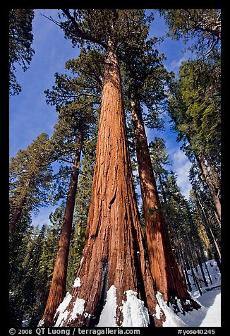 Sequoia tree named the Bachelor in winter. Yosemite National Park (color)