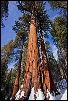 Sequoia tree named the Bachelor in winter. Yosemite National Park, California, USA.