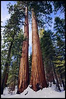 Giant sequoia trees in winter, Mariposa Grove. Yosemite National Park ( color)