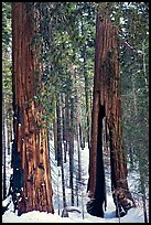 Clothespin Tree and another sequoia, Mariposa Grove. Yosemite National Park, California, USA.