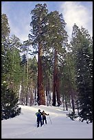 Skiing towards the Clothespin tree, Mariposa Grove. Yosemite National Park, California, USA. (color)