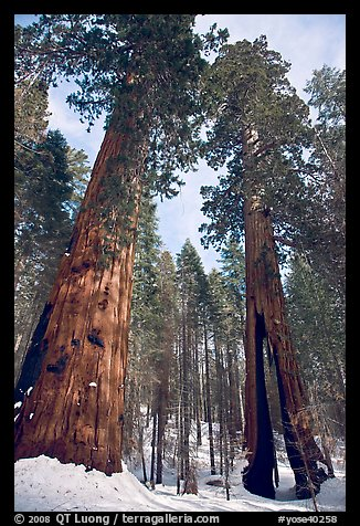 Two giant sequoia trees, one with a large opening in trunk, Mariposa Grove. Yosemite National Park (color)