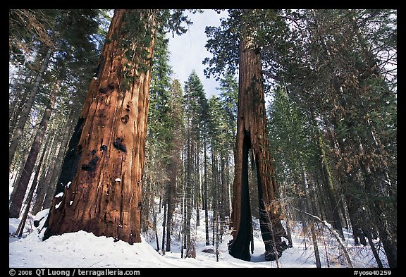 Mariposa Grove of Giant sequoias in winter with Clothespin Tree. Yosemite National Park (color)