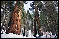 Mariposa Grove of Giant sequoias in winter with Clothespin Tree. Yosemite National Park, California, USA. (color)