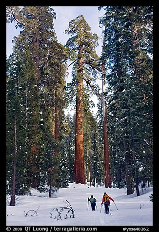 Backcountry skiiers and Giant Sequoia trees, Upper Mariposa Grove. Yosemite National Park (color)