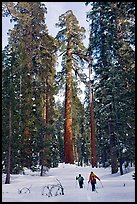 Backcountry skiiers and Giant Sequoia trees, Upper Mariposa Grove. Yosemite National Park, California, USA.