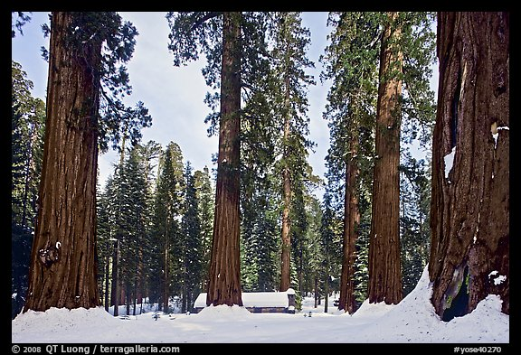 Giant sequoias, Upper Mariposa Grove, Museum, and snow. Yosemite National Park (color)