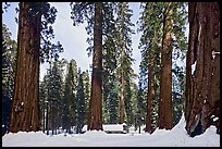 Giant sequoias, Upper Mariposa Grove, Museum, and snow. Yosemite National Park, California, USA. (color)