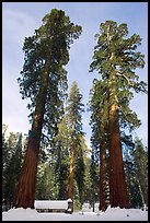 Big trees, and Mariposa Grove Museum in winter. Yosemite National Park, California, USA.