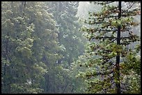 Forest during snowstorm, Wawona. Yosemite National Park ( color)