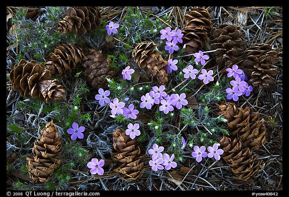 Pine cones and flowers, Hetch Hetchy Valley. Yosemite National Park (color)
