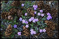 Pine cones and flowers, Hetch Hetchy Valley. Yosemite National Park, California, USA. (color)