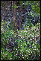 Manzanita in bloom, pine tree, and rock. Yosemite National Park, California, USA.