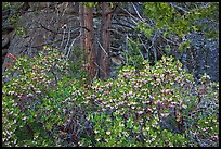 Manzanita with flowers, pine tree, and rock. Yosemite National Park ( color)