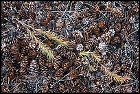 Close-up of pine cones and needles. Yosemite National Park, California, USA. (color)