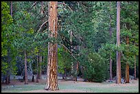 Lodgepole pine and forest. Yosemite National Park ( color)