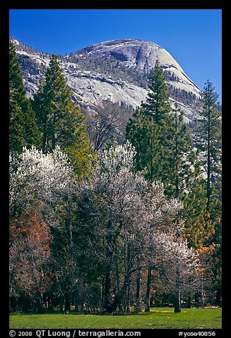 Apple tree in bloom and North Dome. Yosemite National Park (color)