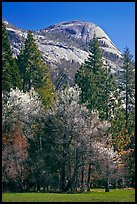 Apple tree in bloom and North Dome. Yosemite National Park ( color)