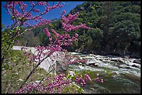Redbud in bloom and Merced River, Lower Merced Canyon. Yosemite National Park ( color)