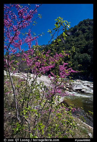 Redbud tree and Merced River, Lower Merced Canyon. Yosemite National Park (color)