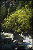 Tree recently leafed out and Merced River. Yosemite National Park, California, USA.