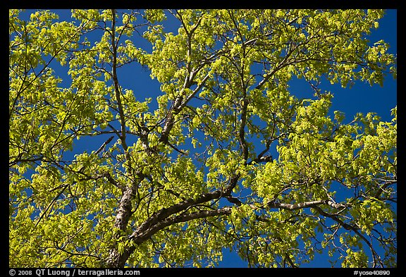 Branches with spring leaves against sky. Yosemite National Park, California, USA.